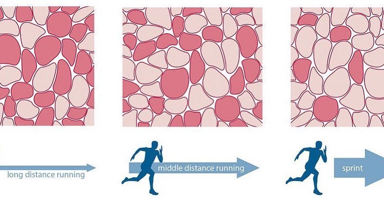 The Role of Muscle Fiber Types in Athletic Ability